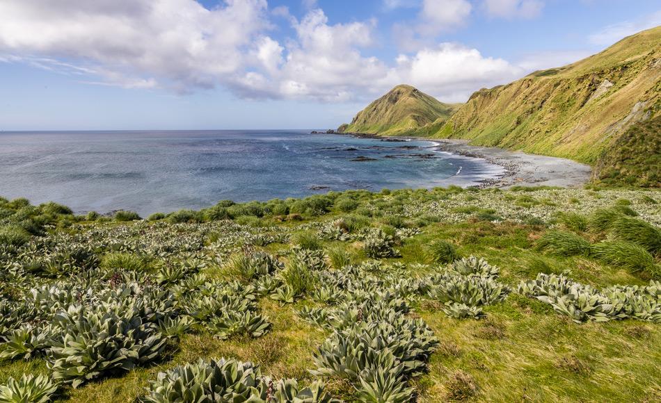 Nach Jahrzehnte langem Kahlfrass durch wilde Kaninchen, kehrt Macquarie Island langsam wieder in den Urzustand zurück. Die einheimische Vegetation erholt sich und bietet Lebensraum und Schutz für nistende Vögel. (Foto: Katja Riedel)