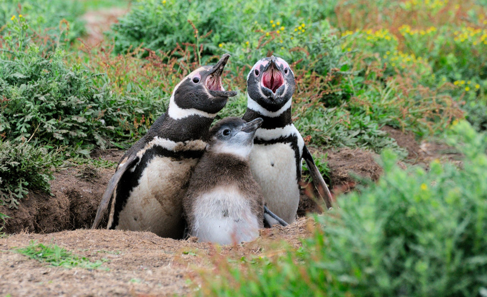 Die Resultate diese Studie könnten auch auf andere Pinguinarten angewendet werden, wie beispielsweise Magellanpinguine (Spheniscus magellanicus). Wie Zwergpinguine lebt auch diese Art an Orten mit unterschiedlichen Pflanzenbewuchsdichten. Bild: Michael Wenger