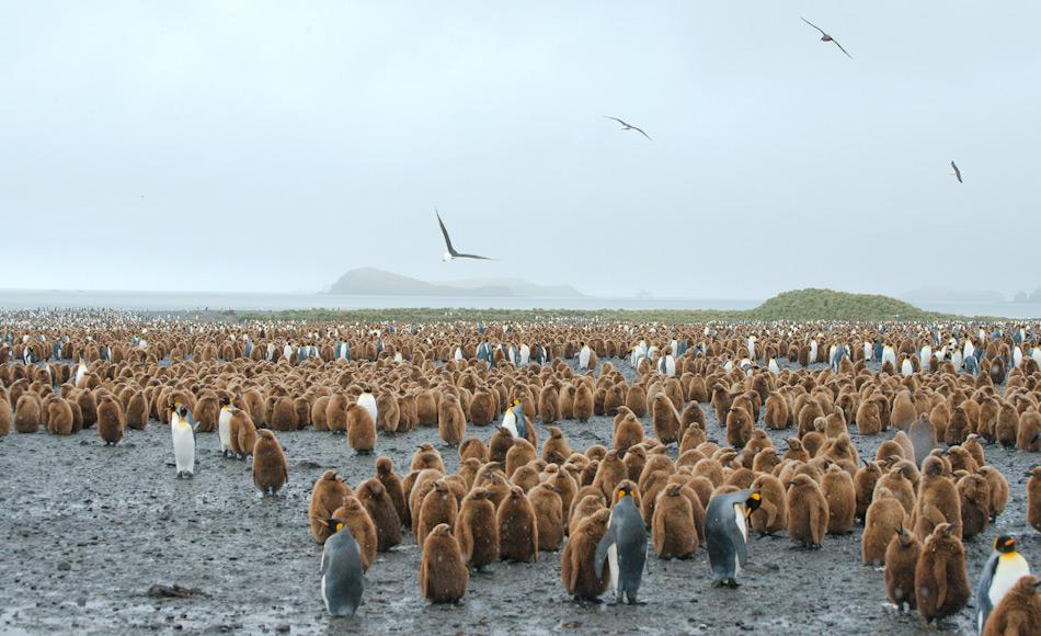 Die Fortpflanzungsstrategie von Königspinguinen ist sehr komplex und zieht sich über 15 Monate pro Küken hin. Es wird auch nur ein Junges pro Gelege aufgezogen. Alle 3 Jahre beginnt der Brutzyklus dann wieder neu. Bild: Michael Wenger