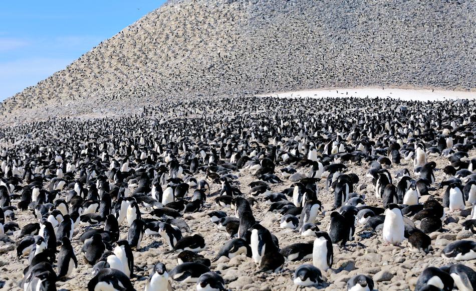 Adéliepinguine brüten entlang der antarktischen Küste ab dem Frühjahr. Ihre Kolonien umfassen bis zu hunderttausend Brutpaare und sind die grössten Vogelaggregationen auf dem antarktischen Kontinent. Bild: Michael Wenger