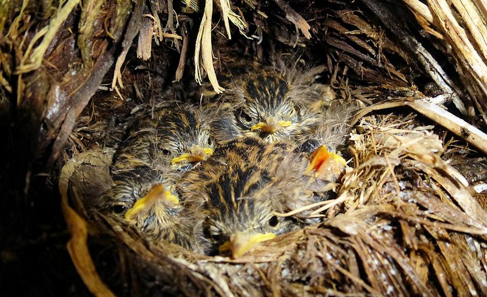 Nach dem Verschwinden der Nager kann die Vogelwelt sich wieder erholen und die Küken werden sicher vor den Ratten sein. Geschätzte 100 Millionen Vögel könnten sich potentiell wieder auf Südgeorgien niederlassen. Bild: Sally Poncet