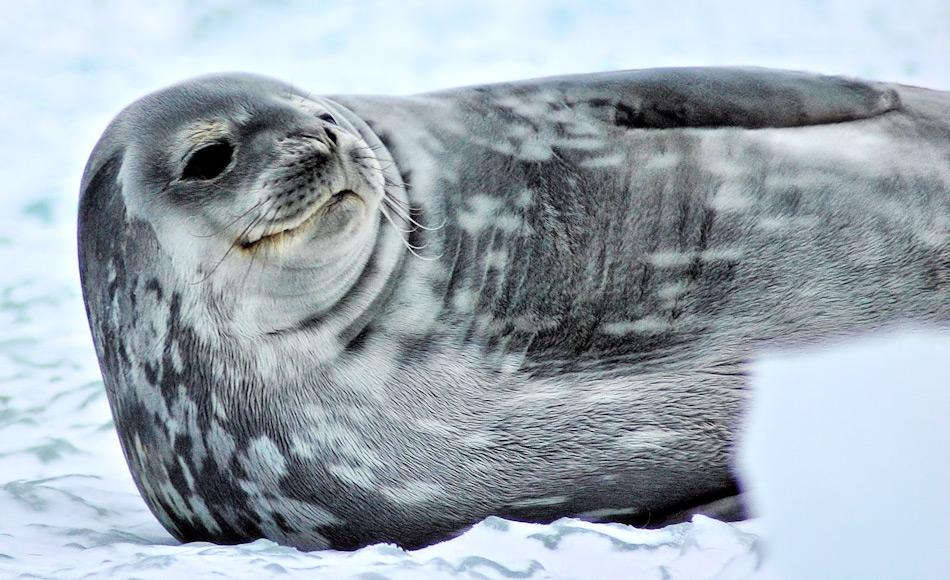 Weddellrobben und See-Elefanten sind die grössten Robbenarten in der Antarktis und gehören zu den Rekordtauchern. Während See-Elefanten sich auf Kalmare konzentrieren, sind die Weddellrobben vor allem auf Fisch aus. Bild: Michael Wenger