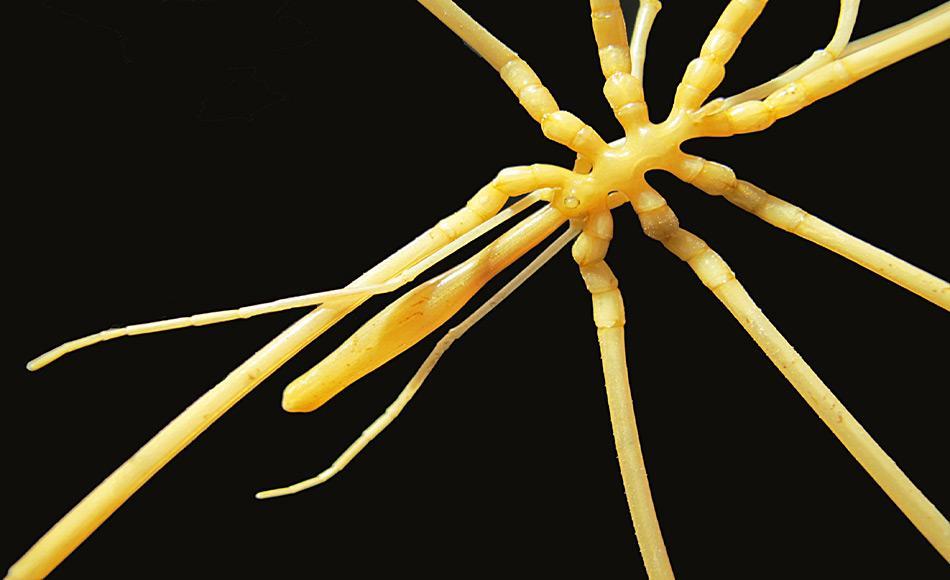 Asselspinnen sind eine eigene Gruppe von marinen Tieren, die nicht wirklich mit den Spinnen verwandt sind. Doch sie besitzen acht Beine und einen schlanken Körper, was ihnen ein spinnenartiges Aussehen verleiht. Foto: Claudia Arango, Queensland University