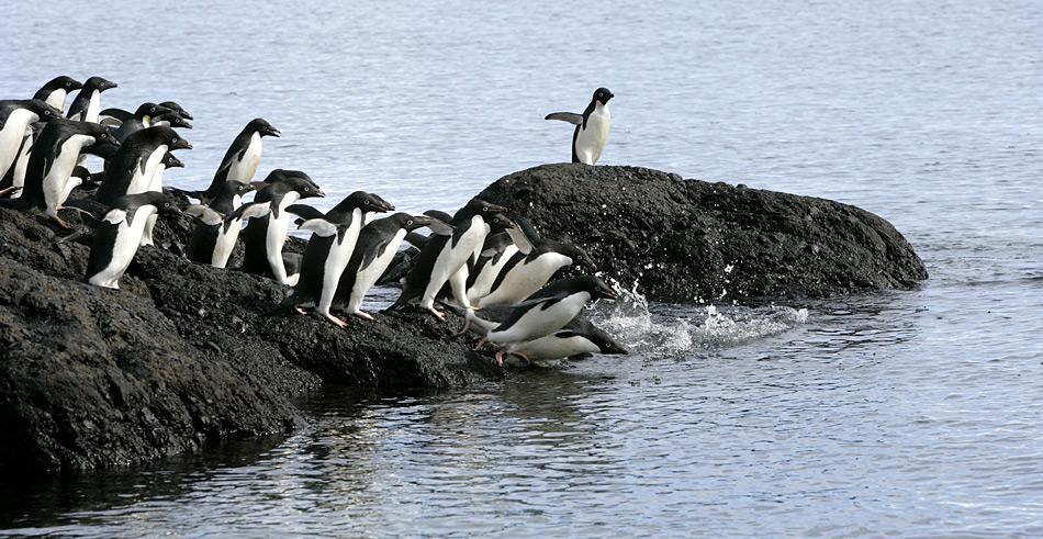 Gemeinsam gehen die Adeliepinguine zum Fischfang. In der Gruppe sind sie besser vor ihren Fressfeinden den Orcas und Seeleoparden geschützt.