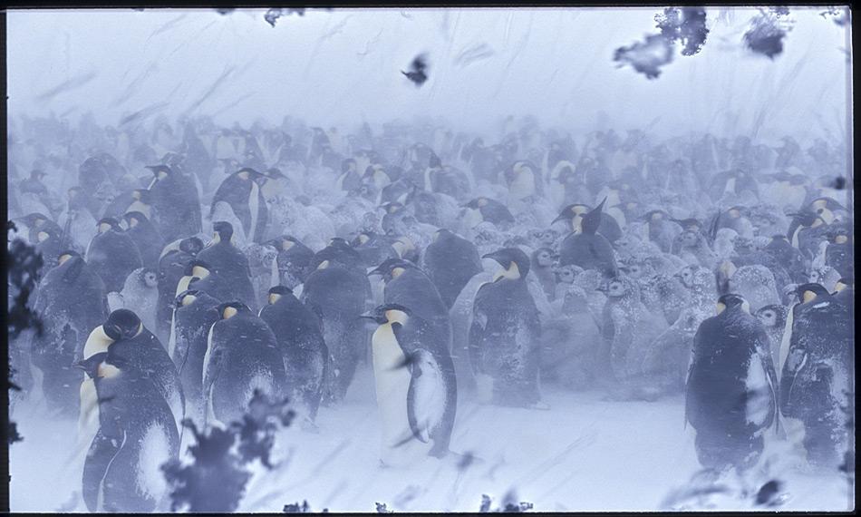 Kaiserpinguine überstehen schwere Stürme mit Temperaturen von minus 40 Grad Celsius und tiefer fast unbeschadet. Foto: Heiner Kubny