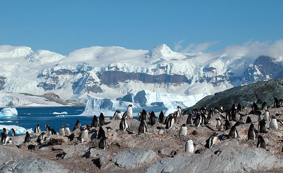 Eselspinguine sind richtige Generalisten unter den Pinguinen. Sie sind rund um Antarktika zu finden und brüten nun sogar auf dem Kontinent selbst. Bild: Michael Wenger