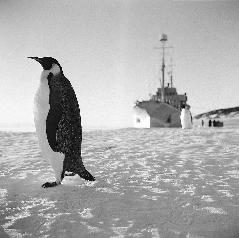 Neugierige Kaiserpinguine untersuchen die HMNZS Endeavour, die Baustoffe, Flugzeuge, Hunde und die meisten neuseeländischen Expeditionsmitglieder im Dezember 1956 in die Antarktis bringt. (Foto von John Claydon ©Antarctica New Zealand Pictorial Collection, 28418, 1956)