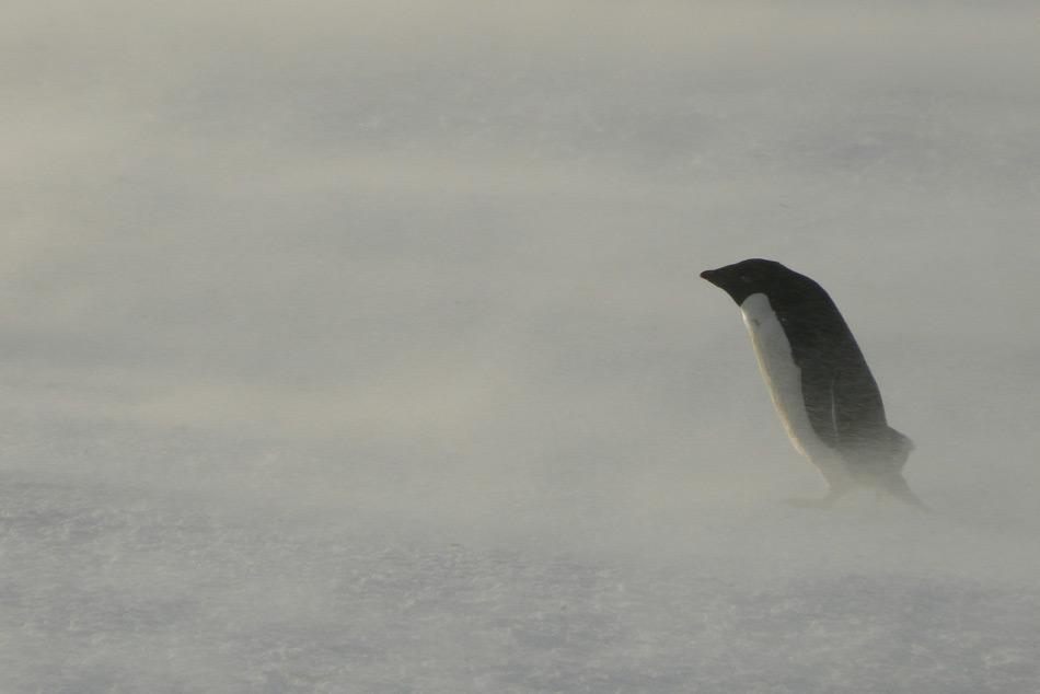 Die hohen Anforderungen an Einrichtungen und Geräte im extremen und unversöhnlichen Klima der Antarktis, erfordern fortlaufende finanzielle Zuwendungen. Pinguine, wie dieser Adéliepinguin im Schneesturm, sind an die harschen Wetterbedingungen bestens angepasst. (Foto: Katja Riedel)
