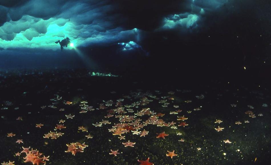 In der Antarktis sind Seesterne wichtige Raubtiere. Taucher begegnen einer bunten Vielfalt unter dem Eis. (Abbildung: Jim McClintock)