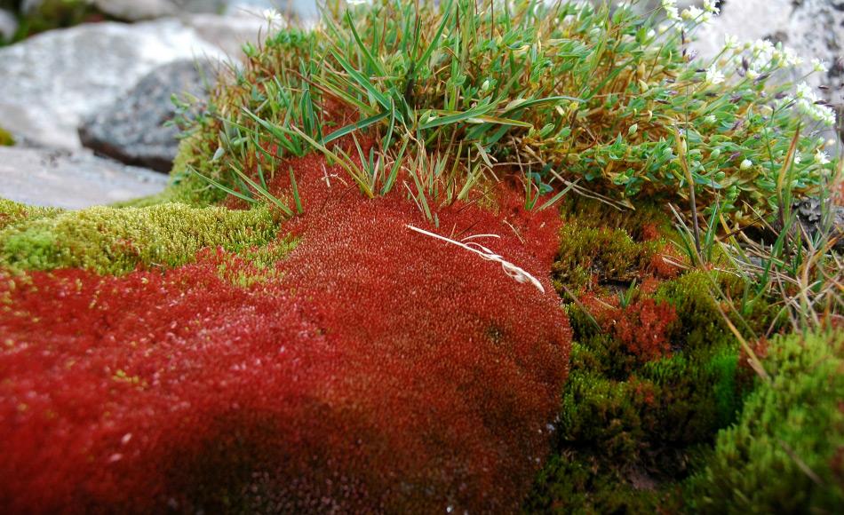 Moose sind Pionierpflanzen und haben keine Wurzeln. Sie widerstehen extremen Klimabedingungen und wachsen sehr gut in der Arktis. Sie sind besonders für ihre Langlebigkeit bekannt. Bild: Michael Wenger