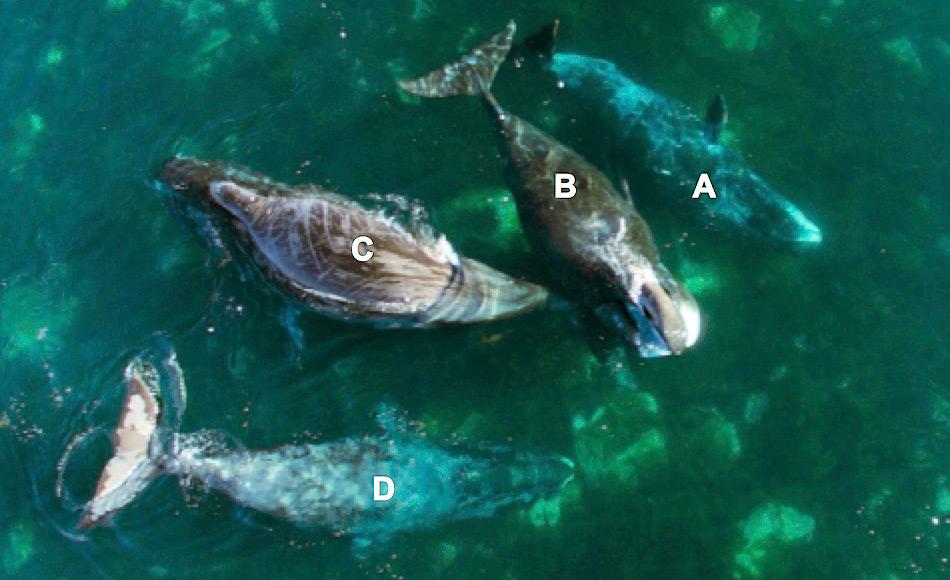 Beispiele von vier Grönlandwalen mit gefleckter Haut, die ihren Körper an Felsen in Brown Harbour am 7. August 2016 reiben. Tier (A) reibt seine rechte Seite seines Kopfes an einem Stein und Tier (D) benutzt die Felsen, um sich sein Kinn zu reinigen. An Tier (C) sind frühere Beweise für das Steinereiben sichtbar aufgrund der langen, dünnen Linien, über den ganzen Körper laufen. Bild: Sarah Fortune