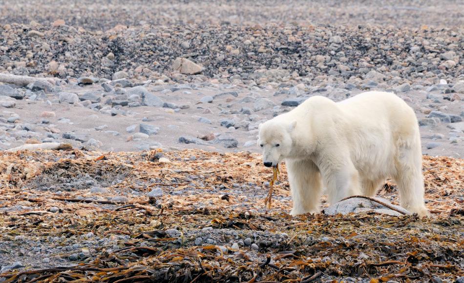Eisbären sind in erster Linie Fleischfresser. Aber in schlechten Zeiten werden auch andere Nahrungsquellen wie beispielsweise Algen gesucht. Doch der Energiegewinn ist sehr klein. Bild: Michael Wenger
