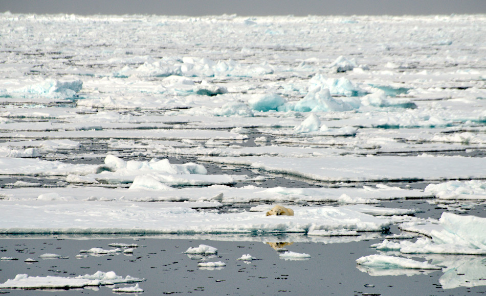 Grosse Teile des arktischen Ozeans werden jedes Jahr von neuem mit Meereis bedeckt. Während aber früher dieses Eis Bestand hatte und zu mehrjährigem Eis wurde, ist heutzutage das Meereis nur noch 1-jährig und verschwindet im Sommer. Bild: Michael Wenger