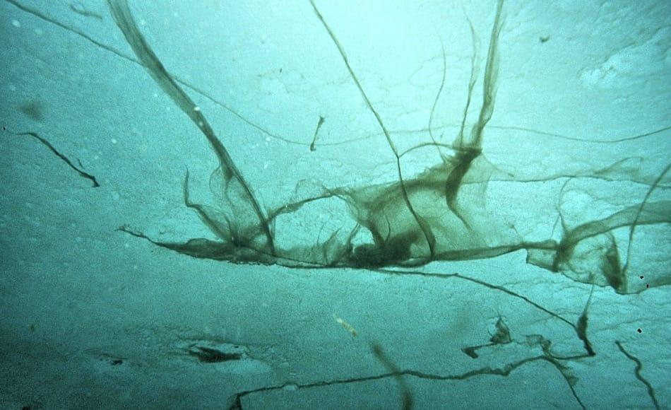 Die Alge Melosira arctica ist die am häufigsten vorkommende Algenart am Packeisrand. Eigentlich eine einzellige Alge, kann sie sich zu ganzen Vorhängen unter dem Eis zusammensetzen. Bild: Julian Gutt, AWI