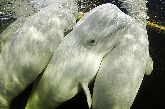 002_3-Belugas