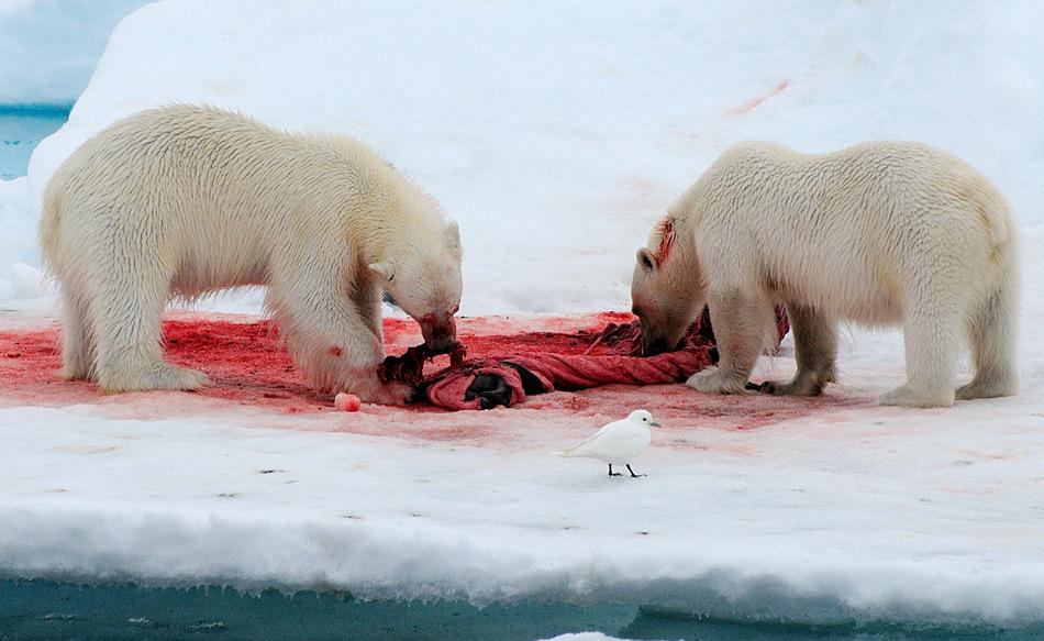 Elfenbeinmöwen fressen häufig von den Überresten, die Eisbären hinterlassen. Durch diese  Ernährungsstrategie scheinen die Tiere durch steigende Quecksilbermengen bedroht zu sein.