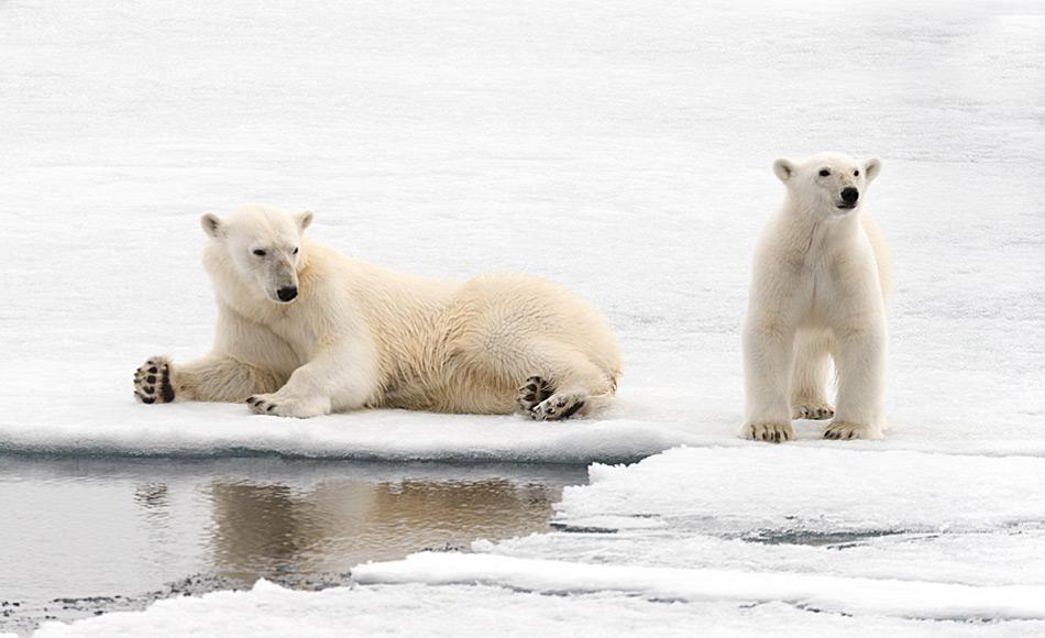 Eisbären-Kleinfamilie in Spitzbergen. Vor allem in den Monaten vor und nach der Geburt sind gute Eisverhältnisse lebenswichtig.
