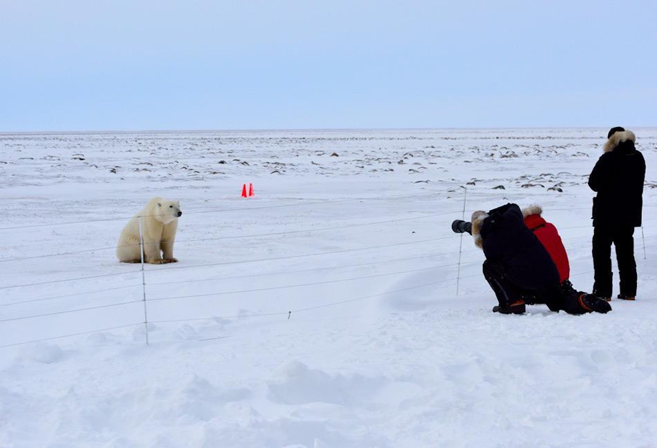 Polar_bear_at_a_camp_near_Arviat