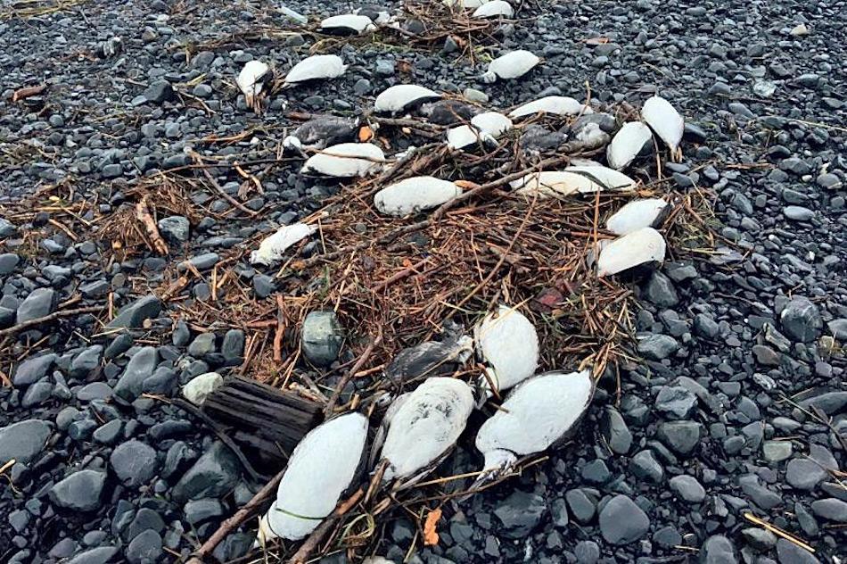 Das Ereignis im Katmai Nationalpark ist neueste in einer Reihe von Vorfällen mit toten Lummen entlang der südwestlichen Küste Alaskas. Beispielsweise wurden in Whittier mehrere zehntausend tote Vögel an den Stränden gefunden. Bisher haben die Forscher noch keine Antwort auf die Frage nach der Todesursache. Bild: David Irons, USFWS