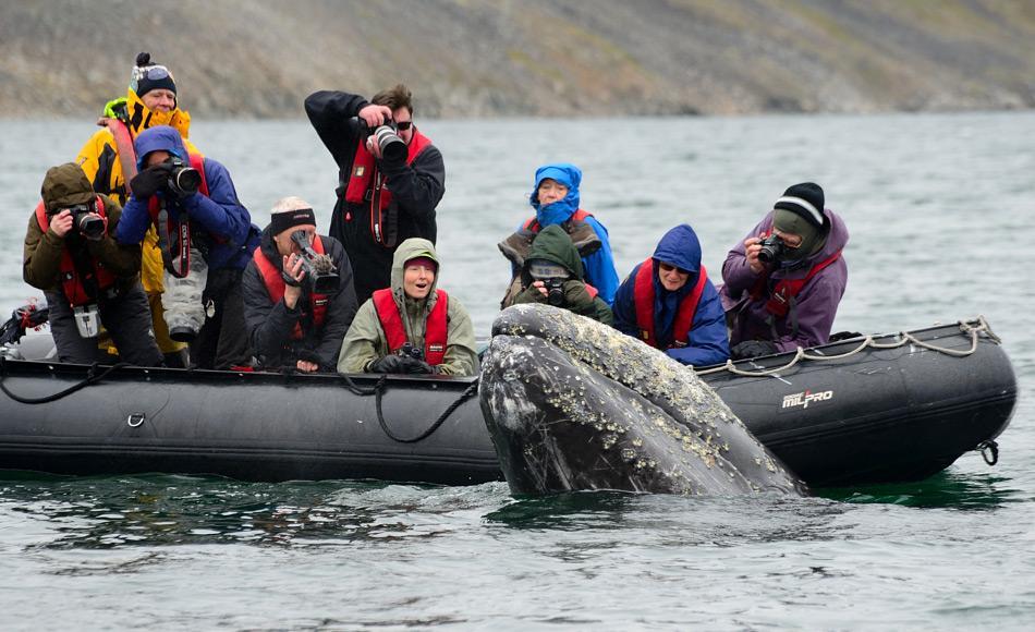 Grauwale sind sehr popular aufgrund ihres Winterdomizils in der Baja California, wo das Grauwal-Watching ein Millionen Dollar Geschäft ist. Doch dank den neuen Zahlen, sind nun auch Beobachtungen in Russland wieder möglich. Bild: Michael Wenger