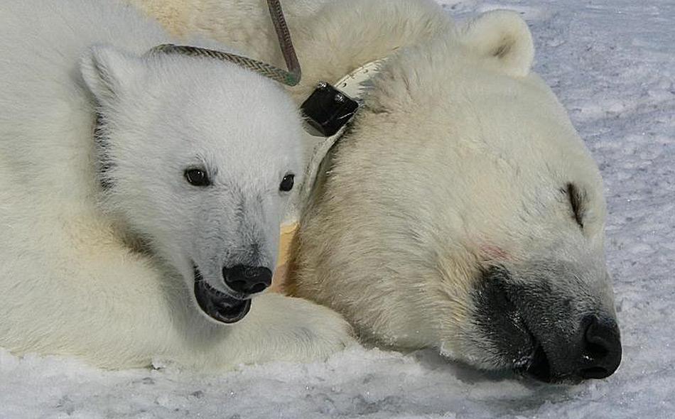 Der betäubten Eisbärenmutter wurde ein Sender um den Hals gelegt, so kann die Wanderung verfolgt werden.