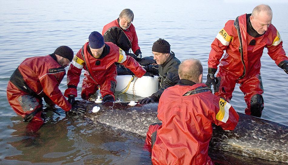 Das Forschungsteam unter Dr. Martin Nweeia befestigt Elektroden auf dem Rücken eines Narwals und überwacht die Herzfrequenz des Tieres. Foto: Gretchen Freund