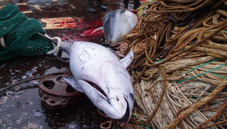 Die Überraschung war gross als drei Blauflossenthunfische vor Grönland ins Netz gingen.