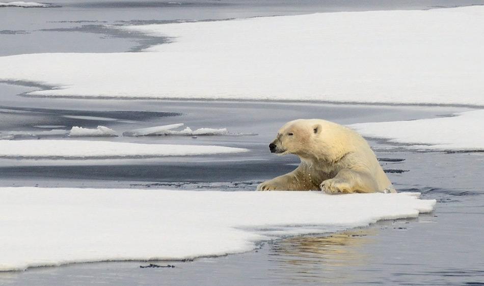Obwohl Eisbären sehr viel Zeit im Wasser verbringen, können sie nicht andauernd schwimmen und brauchen Eisschollen, um sich auszuruhen.