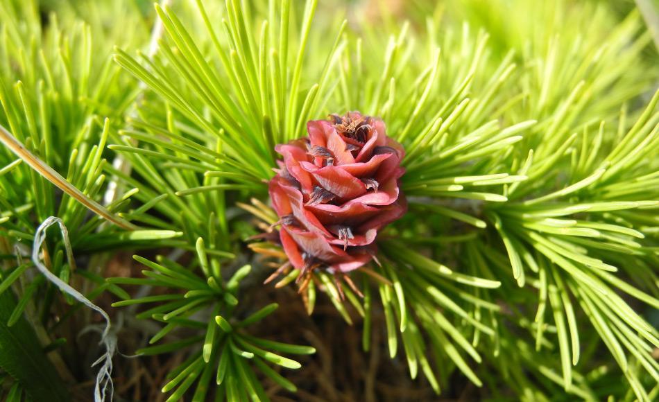 Der Blütenstand der Dahurischen Lärche Larix gmelinii, die mit ihrem flachen Wurzelnetz in der dünnen Auftauschicht des Permafrostes wachsen kann. Foto: Stefan Kruse