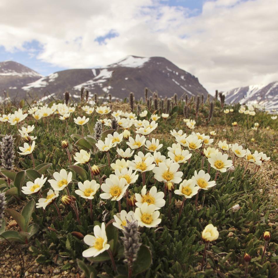 Die Forscher konzentrierten sich bei ihrer Forschung auf Blüten der Silberwurz (Dryas octopetala) hier im Untersuchungsgebiet vor dem Zackenberg in Nordostgrönland. Die Pflanze ist in der Arktis weit verbreitet und somit ein ideales Studienobjekt. Bild: Mikko Tiusanen