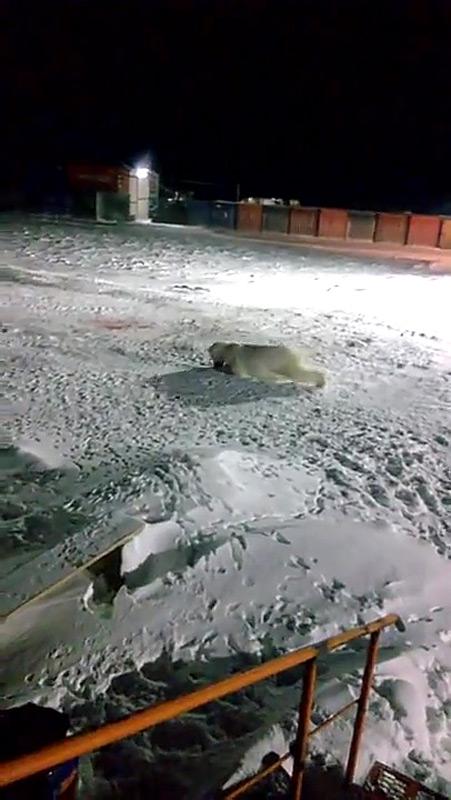 Diese Bild aus einem Youtube-Video zeigt eine verletzte und Blut-speiende Eisbärin und war der Grund für Kochnev's Kritik. Die Bärin war schwer verletzt worden, nachdem ihr ein Knallkörper zu fressen gegeben worden war, der in ihrem Magen danach explodierte.