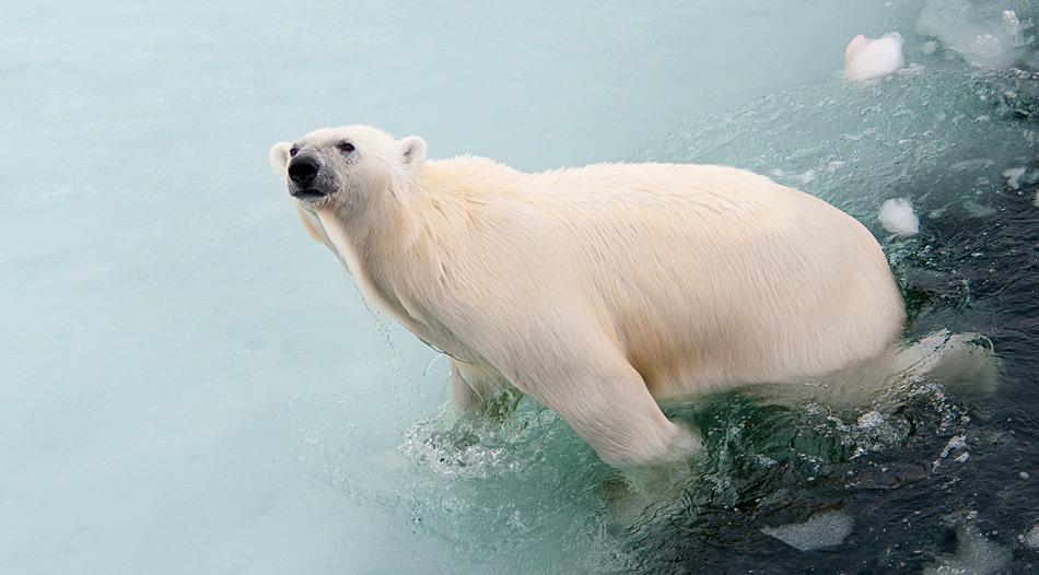 Eisbären sind gute Schwimmer und können so lange Distanzen zurücklegen, der Rekord liegt bei 354 Kilometer und dies ohne Pause.